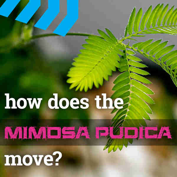How Does the Mimosa Pudica Plant Move?